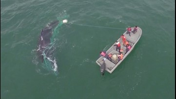 Video: Crew saves humpback whale from fishing net off coast of Mexico