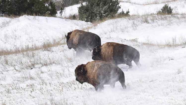 Bison released Badlands National Park