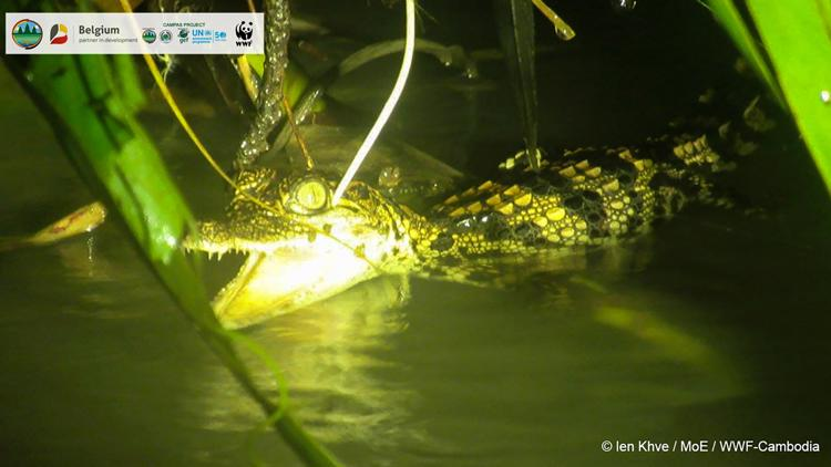 Hatchlings of endangered crocodile species found in Cambodia