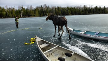 Moose rescued on Hungry Jack Lake