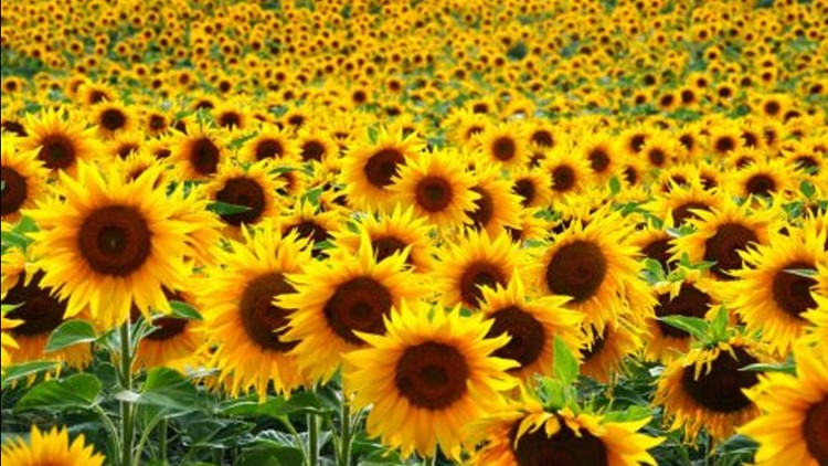 Field of sunflowers coming to San Antonio in June