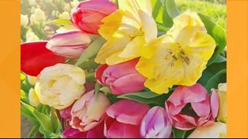 San Antonio area tulip field will open today