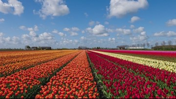 A tulip field is opening in the San Antonio area in February