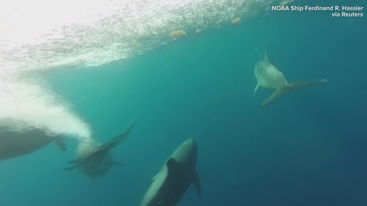 Dolphins swimming captured by underwater camera