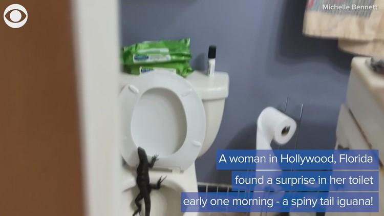 Iguana found in toilet