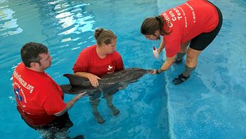 Baby dolphin treated for shark bites, other injuries in Galveston