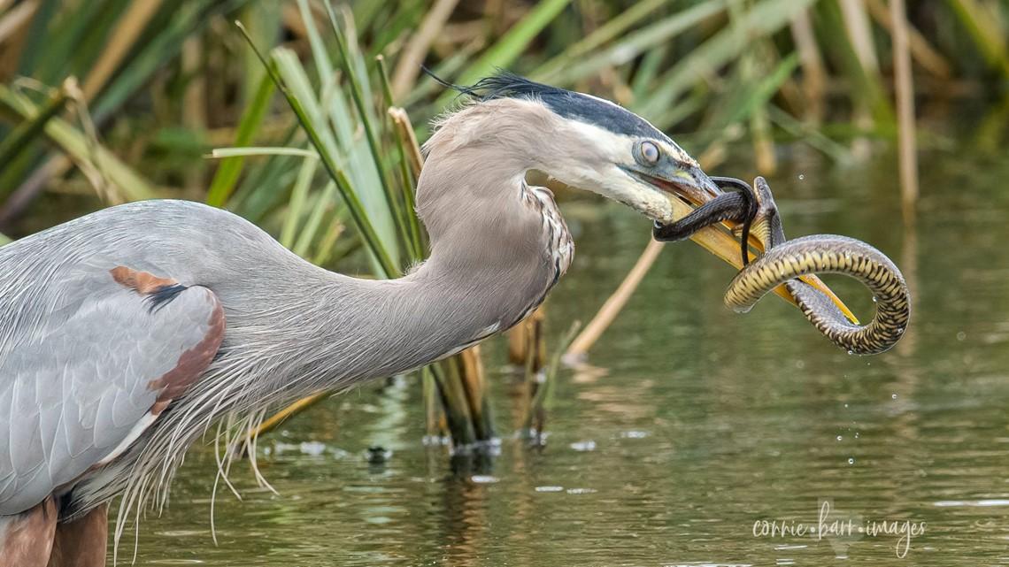 Photos: Great Blue Heron, snake battle at Brazos Bend State Park