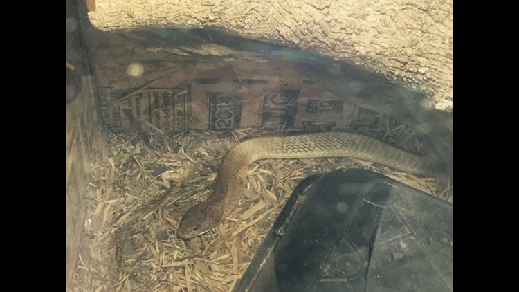 A king cobra that escaped from a Needville home in Fort Bend County has been captured.