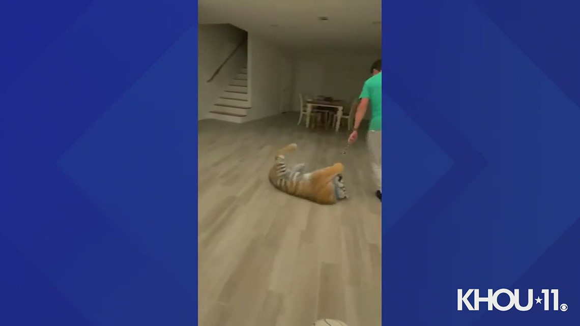Raw Video: Victor Cuevas playing with India the tiger indoors