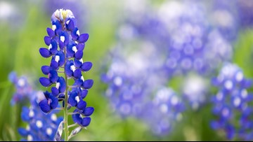 This bluebonnet season could be a once-in-a-lifetime event