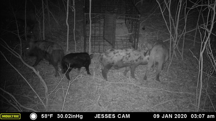 feral hogs spotted near The Woodlands