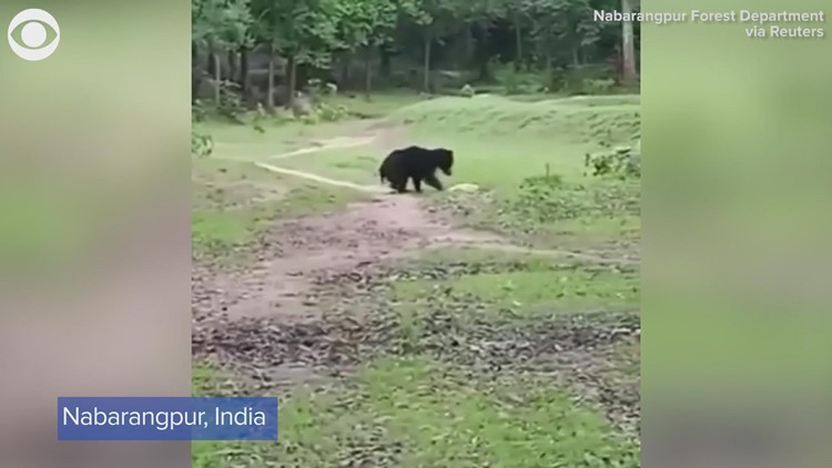 Bears play with soccer ball in India