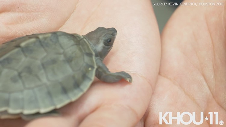 Houston Zoo has first hatching of painted terrapins turtles