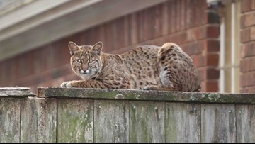 If you live in Sugar Land, watch out for bobcats!