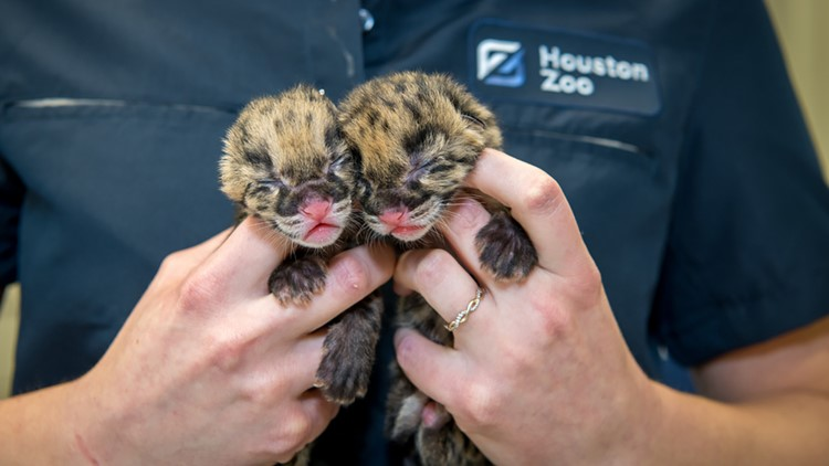 How adorable! Rare clouded leopard cubs born at Houston Zoo