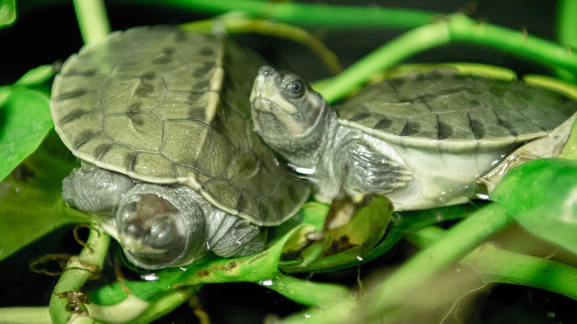 Baby turtles! Houston Zoo has first ever hatching of highly endangered turtle species