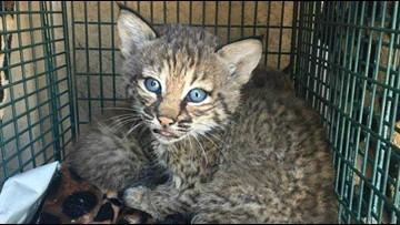 Bobcat kittens mistaken for domestic kittens, 3 people injured