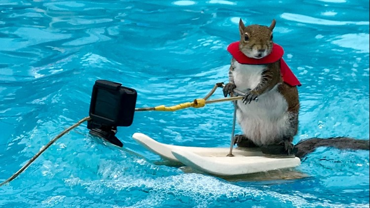 After 39 years, Twiggy the water-skiing squirrel is retiring-10425126.