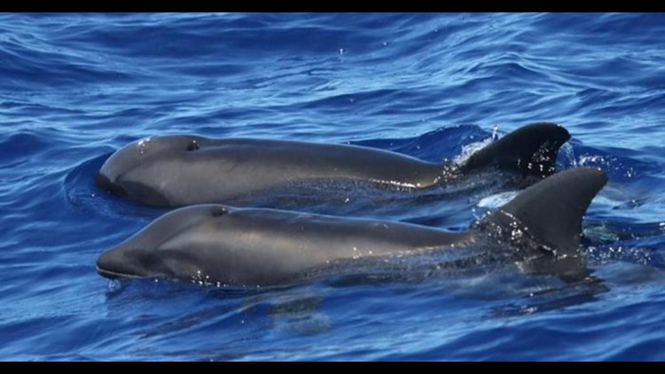 Dolphin-whale hybrid spotted near Hawaii