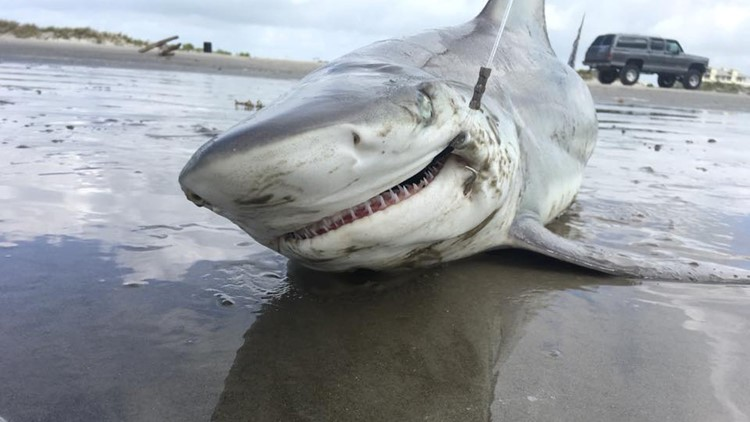 Shark attacks relatively rare in Texas | khou com