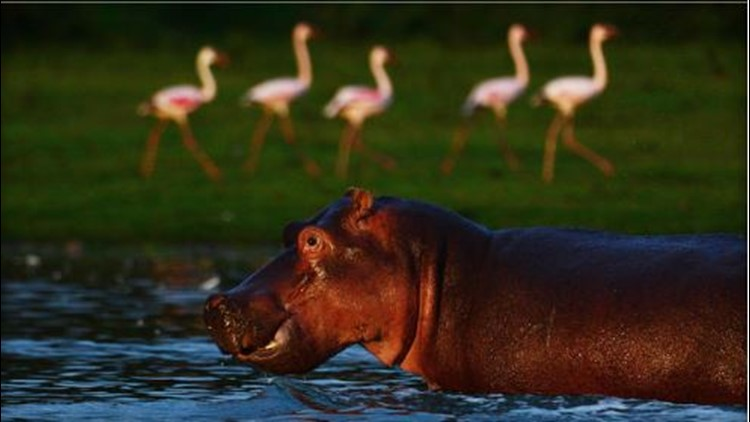 Tourist killed by hippo while taking pictures in Kenya