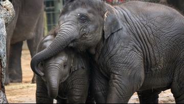 Joy the elephant calf overcomes deadly virus at Houston Zoo