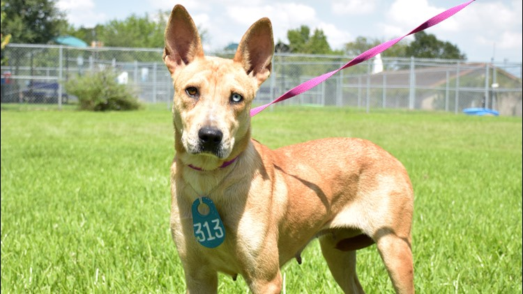 Over 100 Dogs And Cats Available For Adoption Foster At Harris County Animal Shelter Khou Com