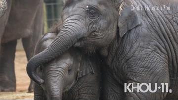 Elephant calf overcomes deadly virus at Houston Zo