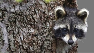 These raccoons aren't rabid, they're just 'drunk,' police in West Virginia say