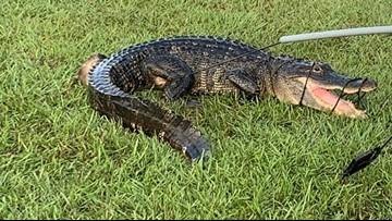 Surprise! Gator found at Houston-area high school