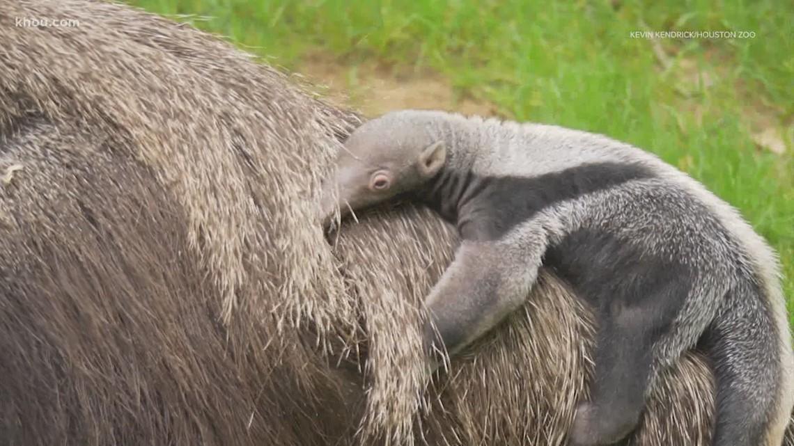 Moment of Zen: Houston Zoo's 2020 baby boom