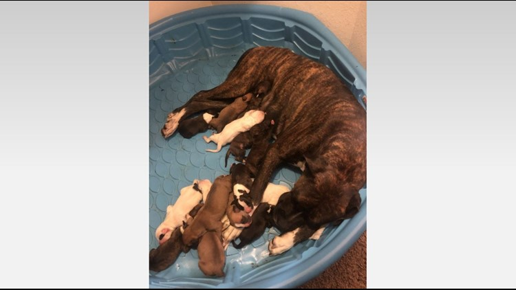 New world record? Santa Fe man says his Boxer had a litter for the