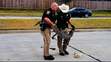 FBCSO deputies capture gator wandering neighborhood outside Rosenberg