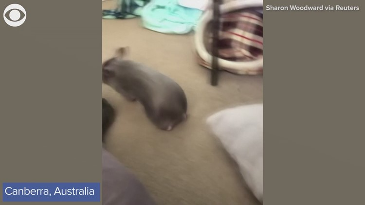 Baby wombat plays with caretaker