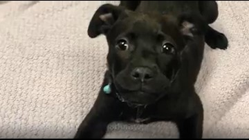 Meet Mercy: 8-week-old pup looking for loving home after man throws her into pond, burns her