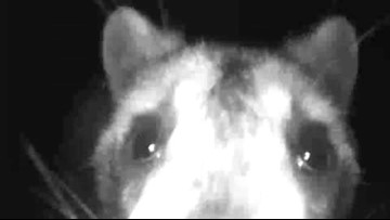What is it? Spring woman wants help identifying mystery critter caught on surveillance