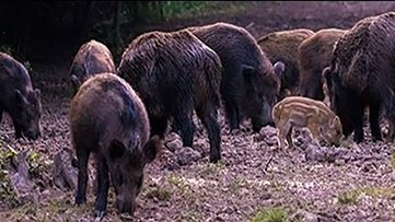 Don't shoot! Seabrook city officials warn residents to leave feral hogs alone