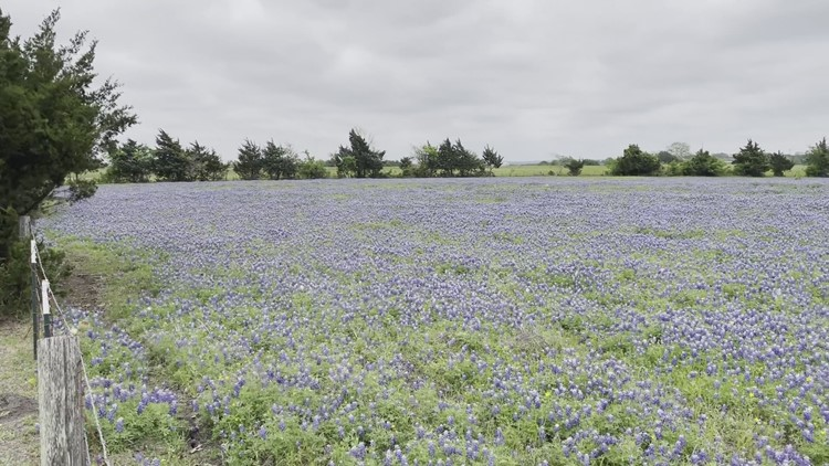 Huge field of Texas bluebonnets found in Austin County — the town of Welcome, Texas