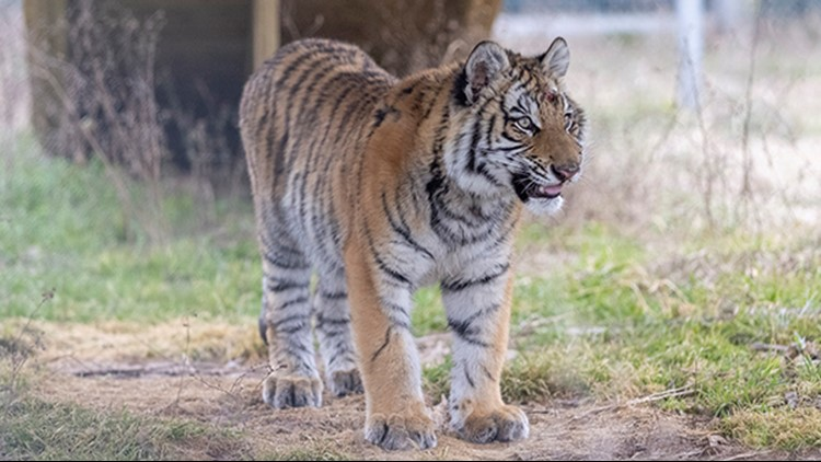 'Pet' tiger rescued during winter storm settles into new digs at Texas wildlife sanctuary