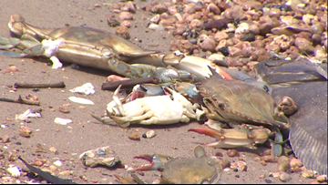 Dead fish wash up in Galveston Bay after barge collision