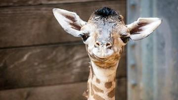 Houston Zoo welcomes birth of baby giraffe