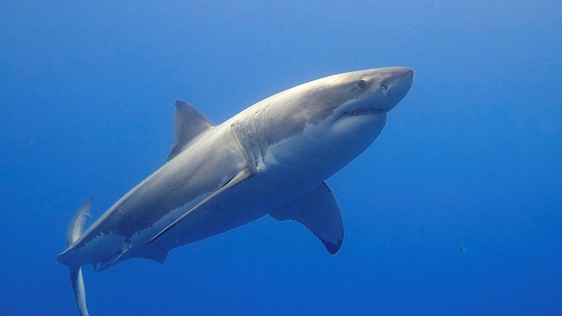 1,600 pound great white shark spotted in Gulf of Mexico | khou com