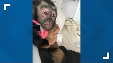 Monkey that escaped Galveston home during burglary found, owners cited