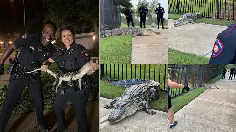 Fulshear police getting plenty of on-the-job gator-handling training