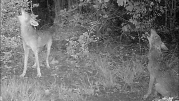 Urban coyotes in your backyard? Here's how to keep them out