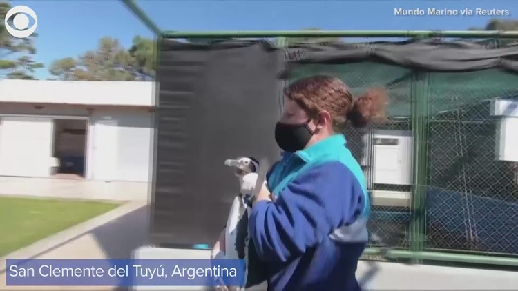 Magellanic penguins released into sea after rehabilitation