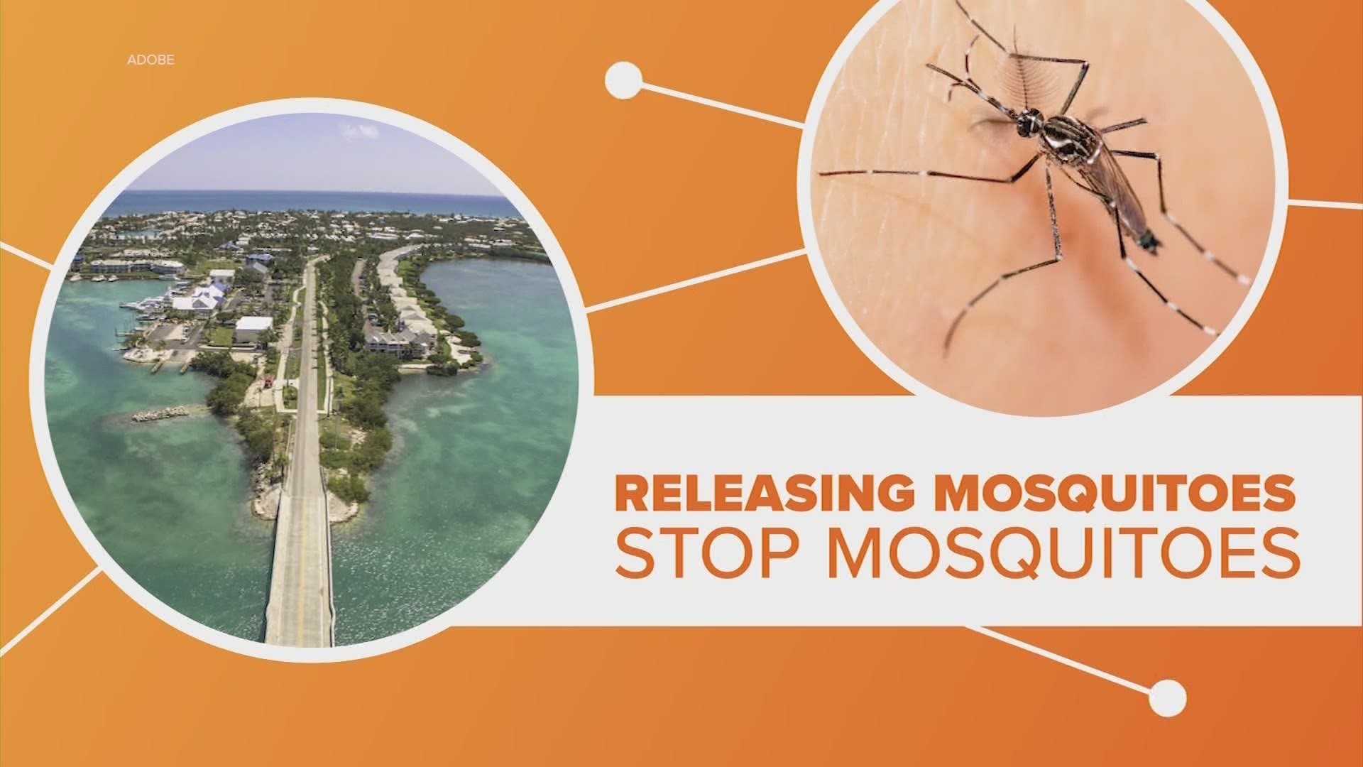 Genetically modified mosquitoes to be released in Florida | khou.com
