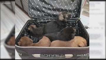 5 puppies found abandoned in a suitcase