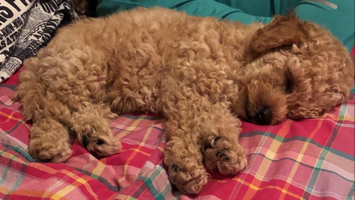help find watson  miniature poodle puppy stolen from