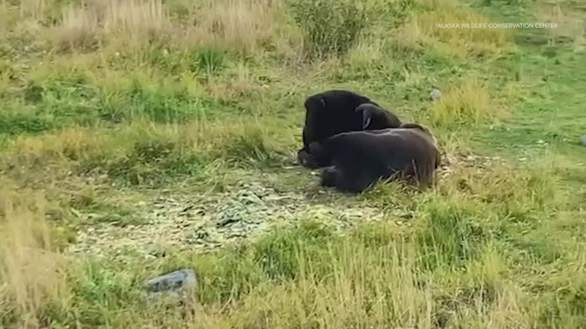 Moment of Zen: Brown bears' synchronized napping